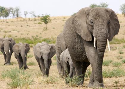 Der er kæmpe elefantflokke i Tanzania