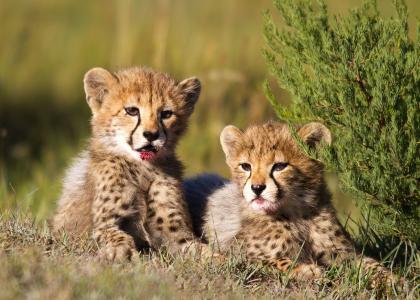 Der er mange geparder i Tarangire - måske du er heldig at se et par unger