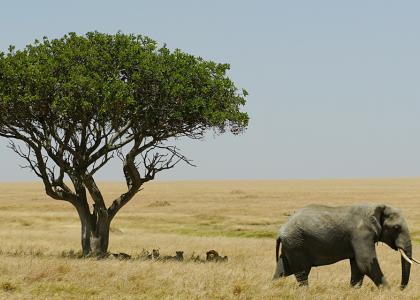 Elefant spankulerer forbi en løbefamilie