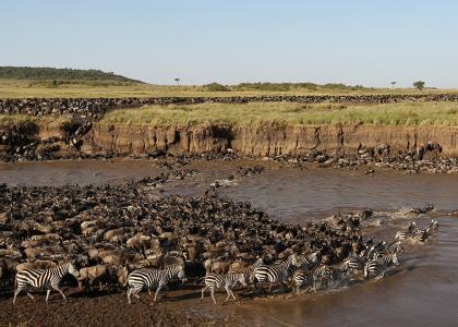 Den store migration krydser floden i Serengeti