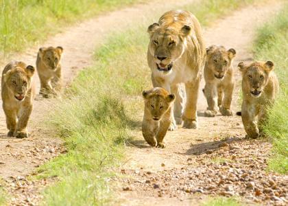 En løvefamilie i Tarangire