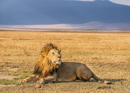 Hanløve i Ngorongoro krateret