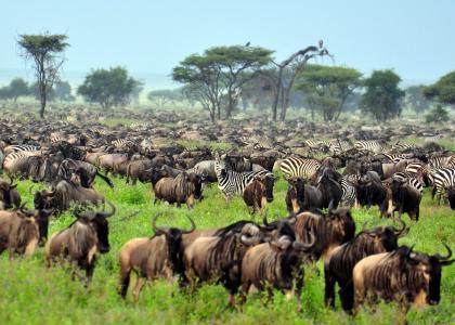 I Ndutu området ved Serengeti kan du opleve et enormt antal af gnuer og zebraer