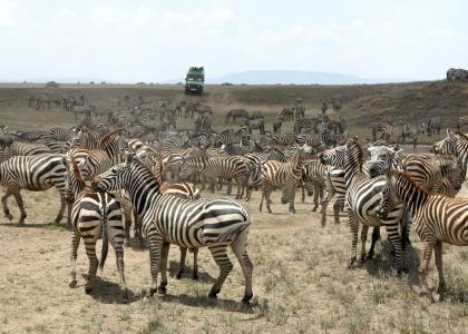Kæmpe flok zebraer foran safari-bil