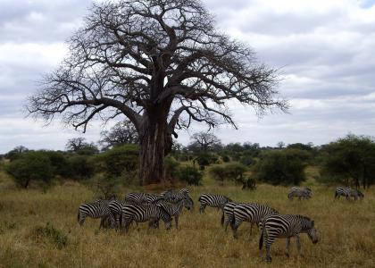 Klassisk Tarangire - savanne med karakteristiske baobabtræer og smukke zebraer
