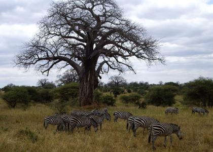 savannen i Tarangire med baobabtræer og smukke zebraer