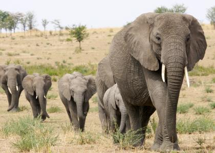 I Tarangire er der kæmpestore elefantflokke